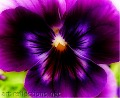 """Pansy"" Photography  © 2010 Photographer Ingrid Funk"